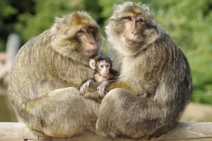 Affeneltern mit Affenbaby im Arm