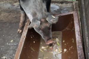 Schwein-300x200